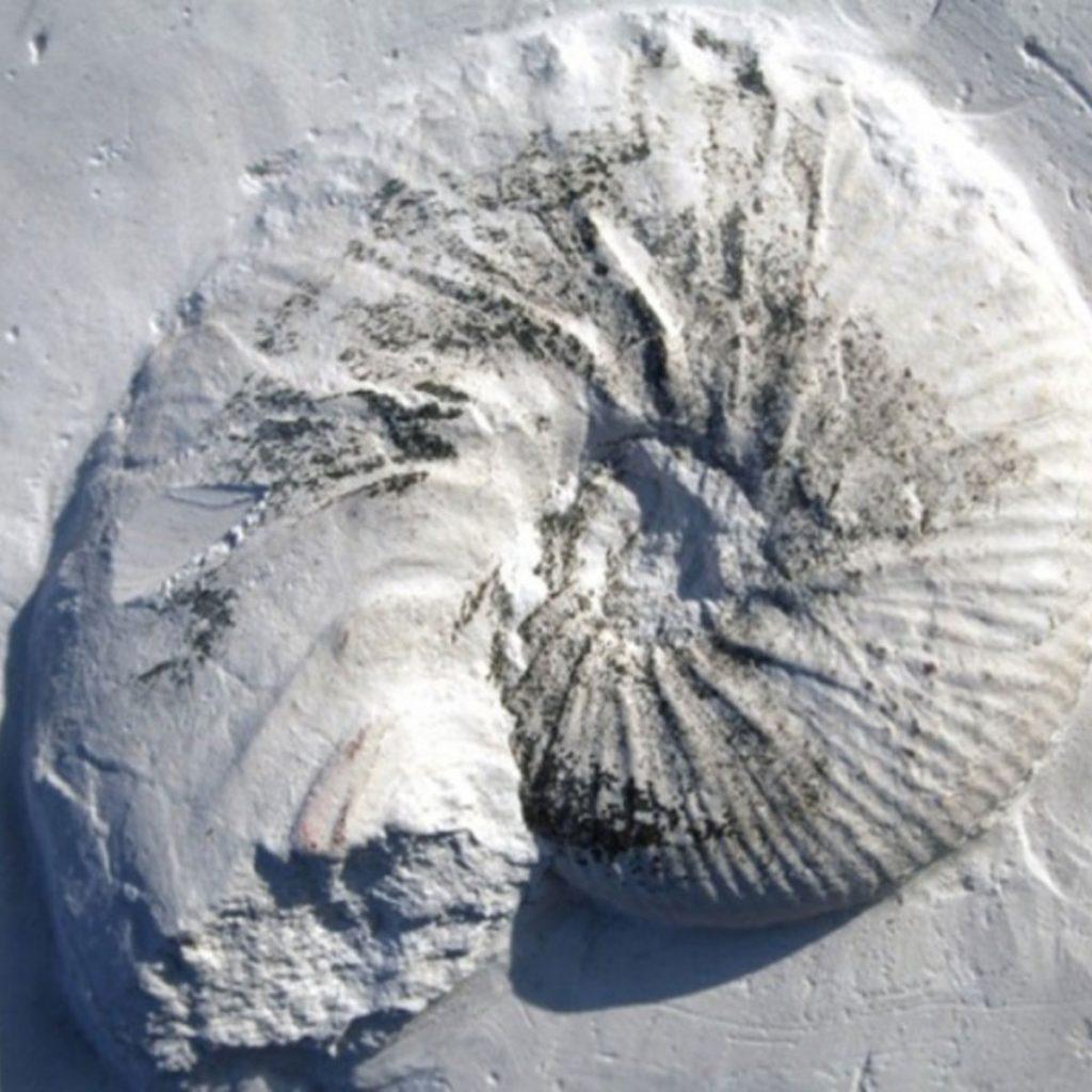 Acanthoscaphites tridens 45mm (2)