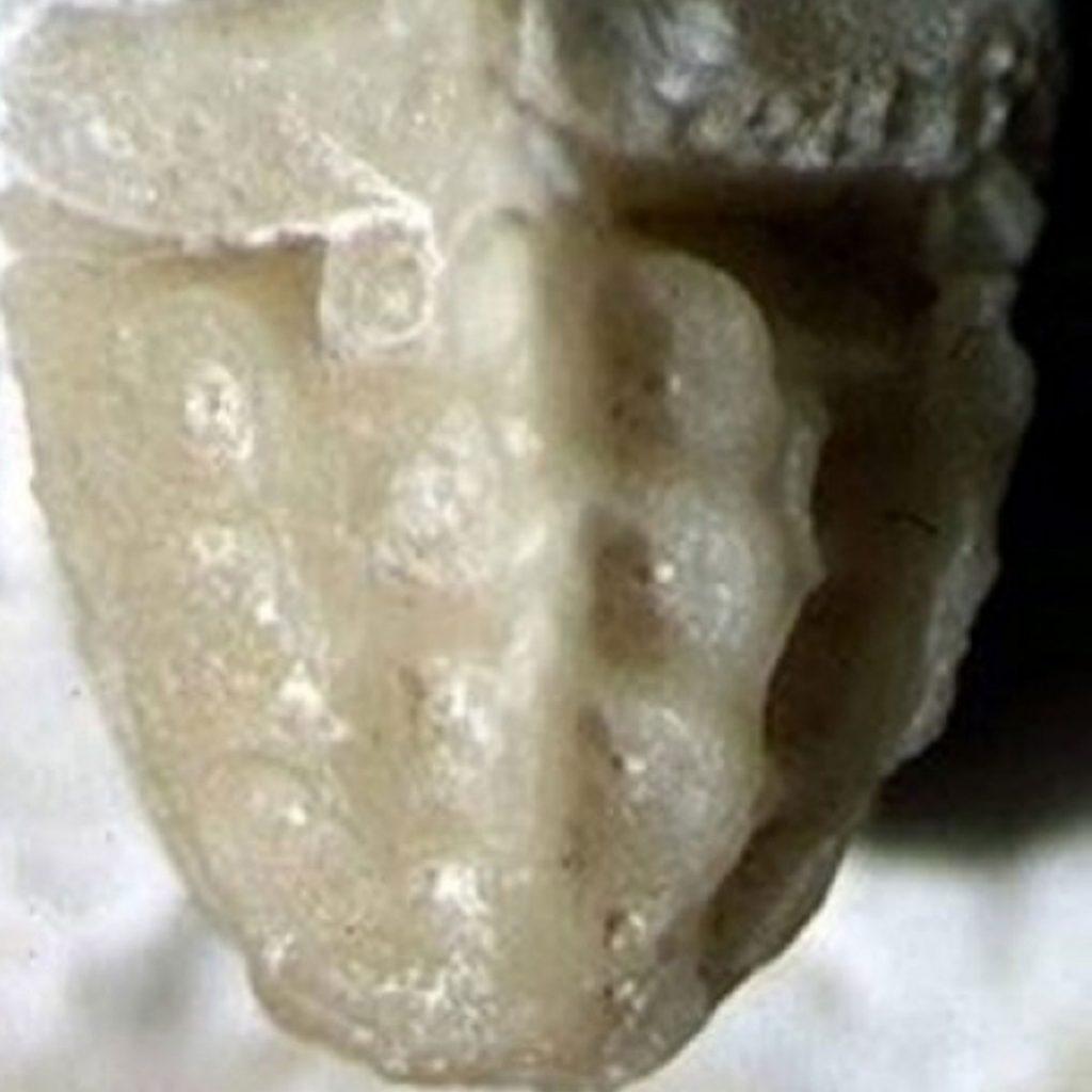 Amphorometra conoidea, Haarstern 5mm