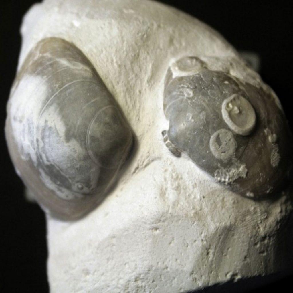 Carneithyris Subcardinalis, Rechts Mit Ancistrocrania Parisiensis 55mm