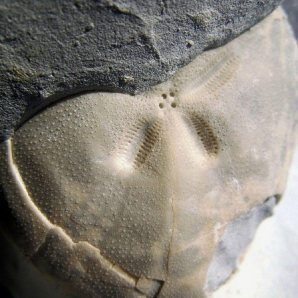 Echinogalerus hemisphaericus 26mm