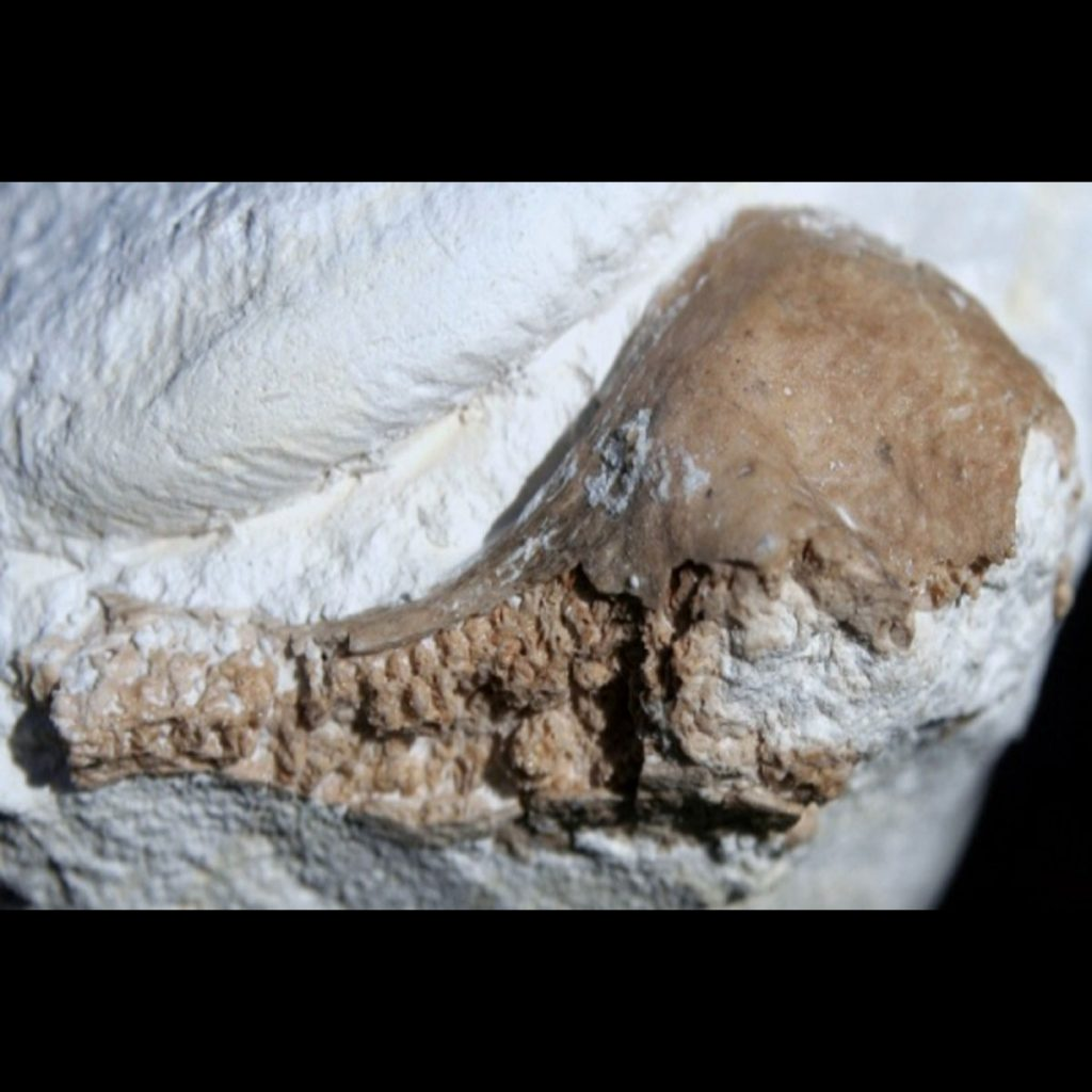 Knochenrest (neben Ammonitenrest) 25mm
