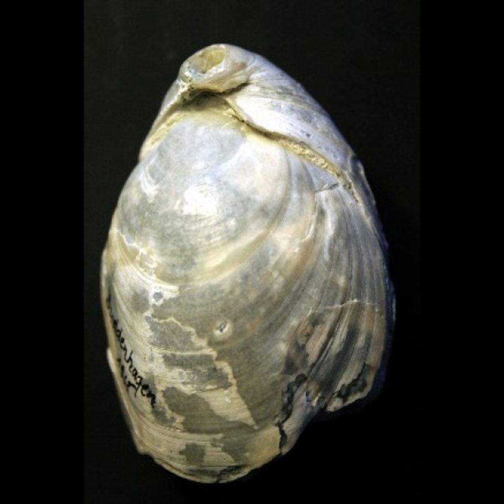 Neoliothyrina Obesa 60mm