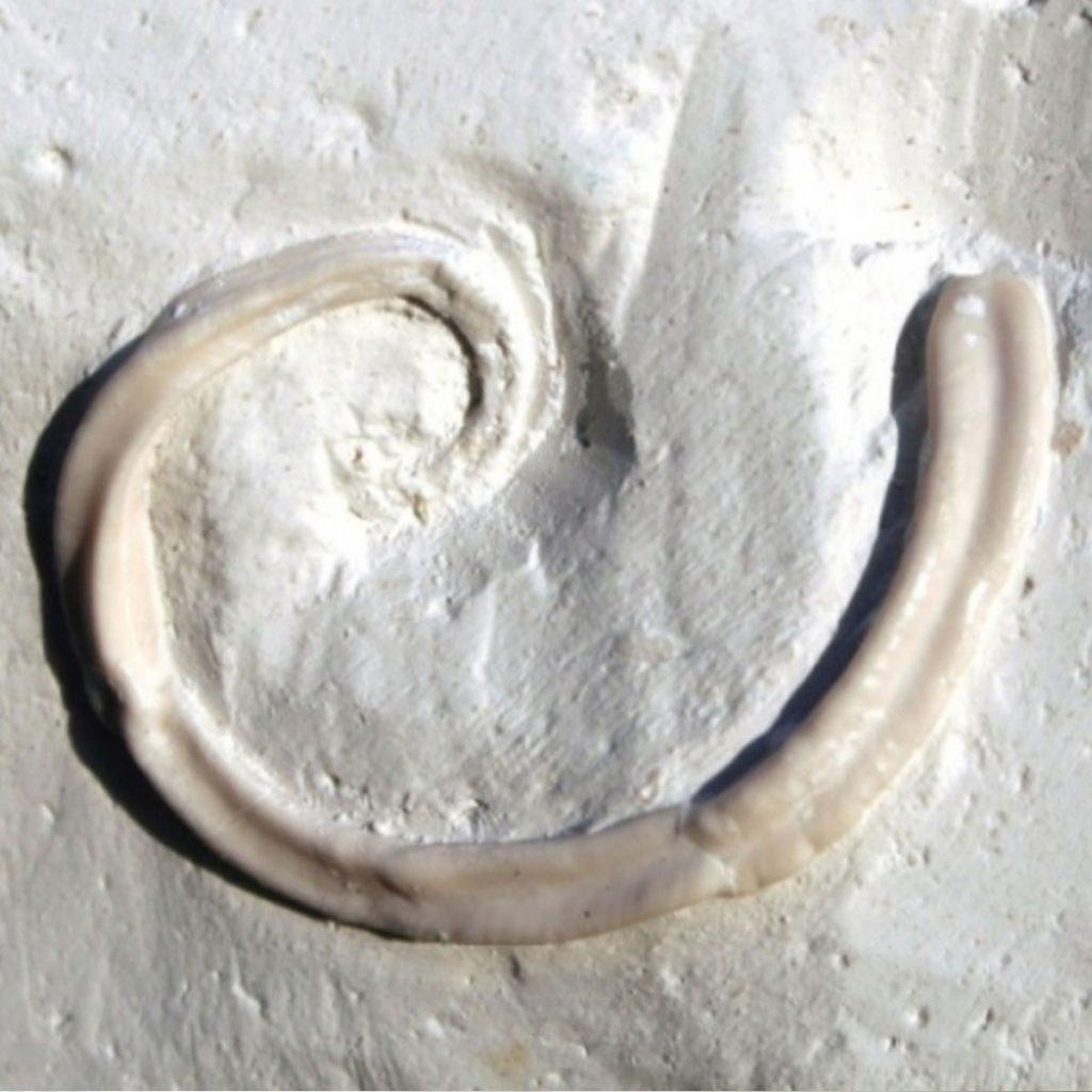 Nogrops(Tetraditrupa) Canteriata 28mm