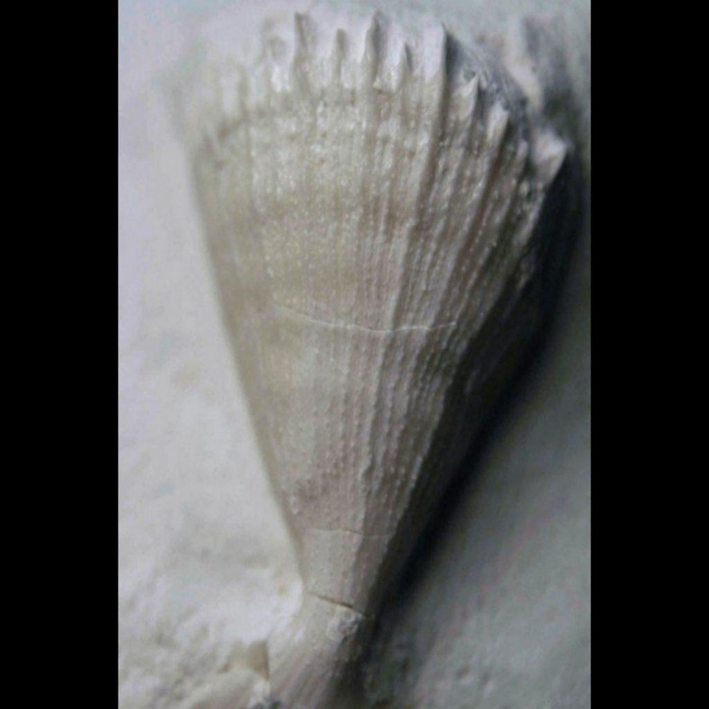 Parasmilia Excavata Seitenansicht 35mm