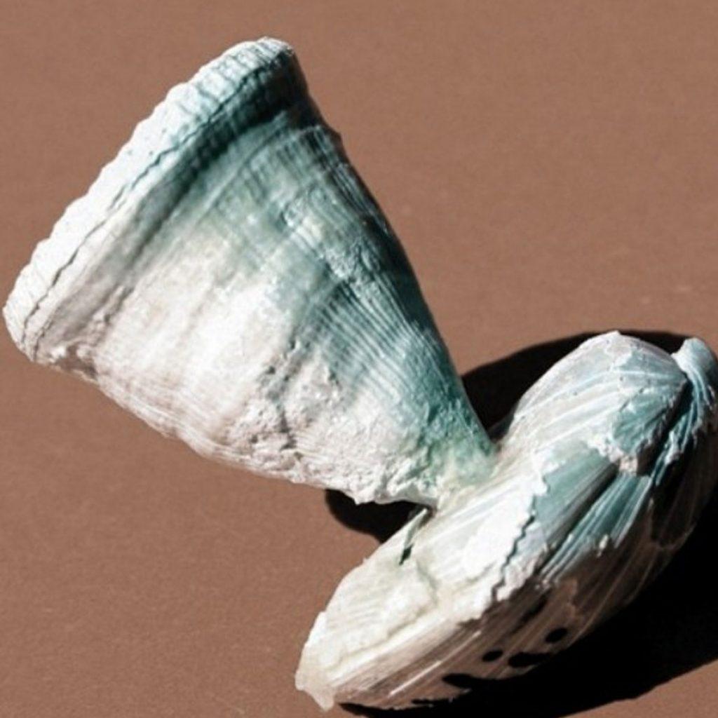 Parasmilia Excavata Auf Armfüßer Carneithyris 38mm