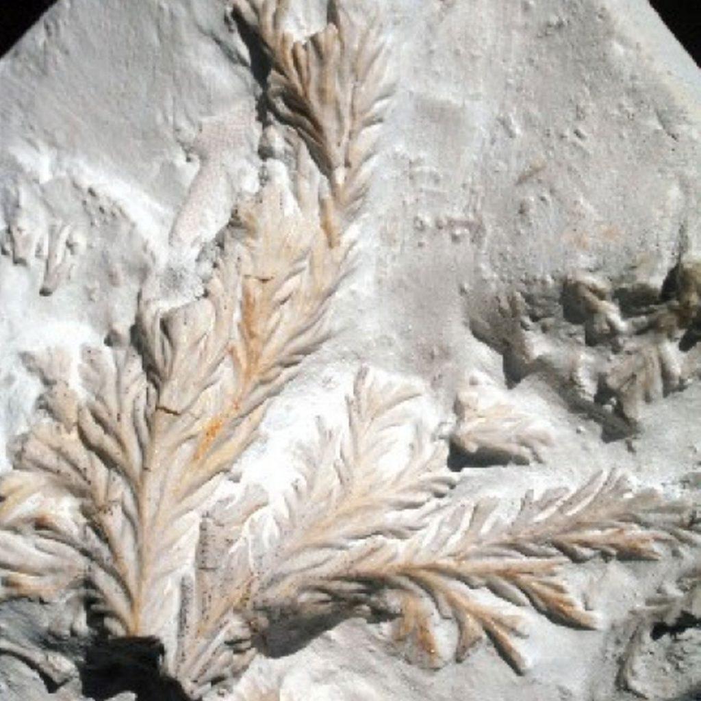 Strauchförmige Kolonie 60mm