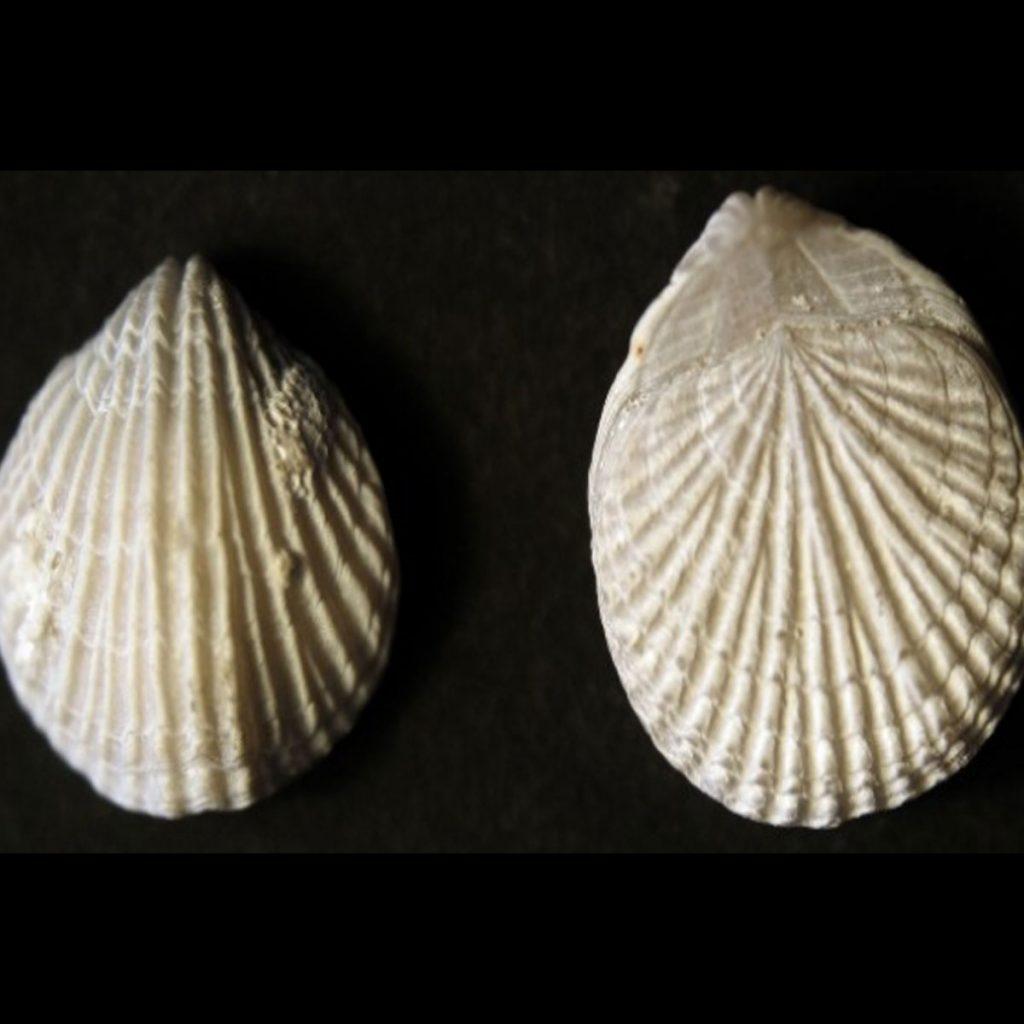Trigonosemus pulchellus 35mm