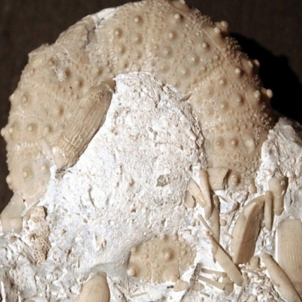 Trochalosoma taeniatum mit Stacheln 50mm
