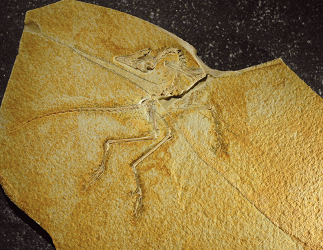 Archaeopteryx Lithographica Nr